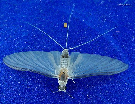 Mayfly (in August)  - Ephoron leukon - female
