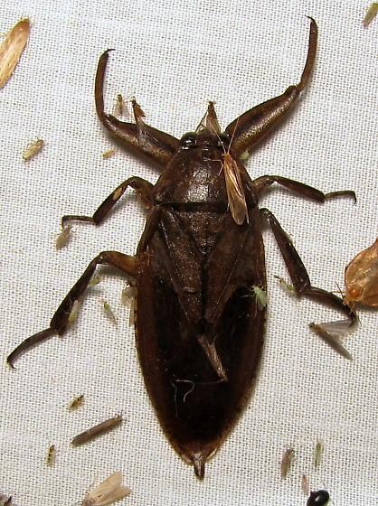 Lethocerus ID request - Lethocerus americanus