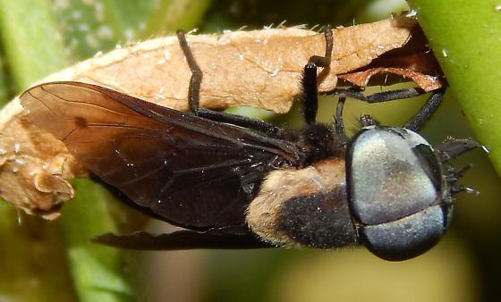 Tabanus punctifer? - Tabanus punctifer - male