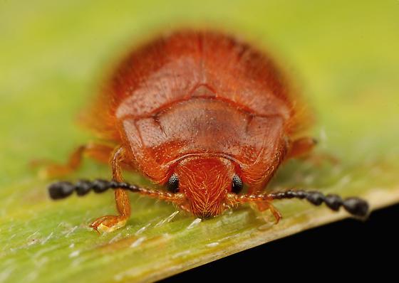 Coleoptera - Stenotarsus blatchleyi