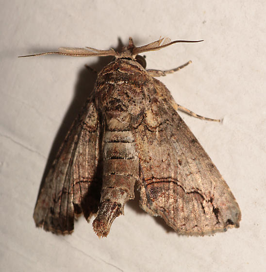 Moth for ID - Paectes abrostoloides - male