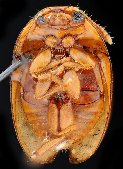 Shining Flower Beetle, ventral - Stilbus