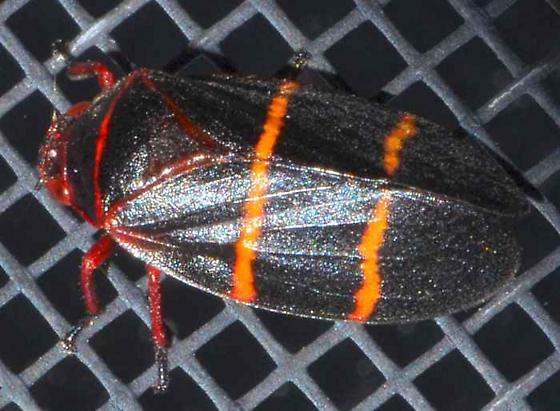 Two-lined Spittlebug? - Prosapia bicincta