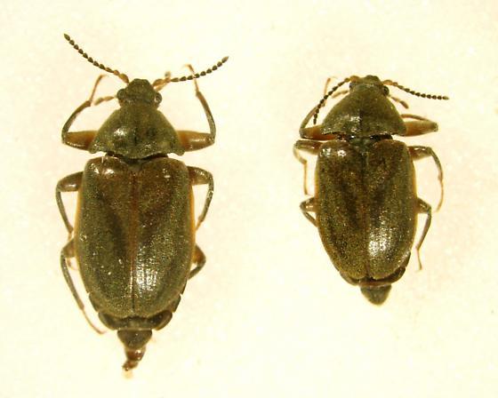 Psephenus texanus - male - female