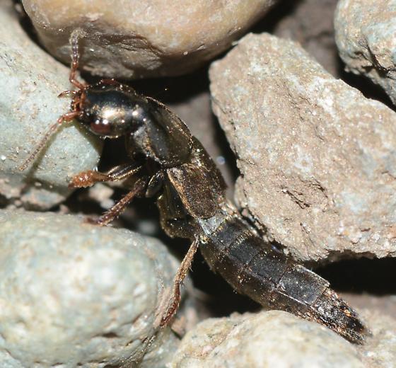 bug - Ocypus aeneocephalus
