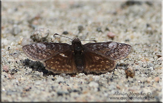 Butterfly sp - Erynnis icelus