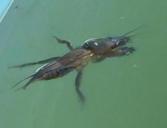 unknown specimen - Gryllotalpa gryllotalpa