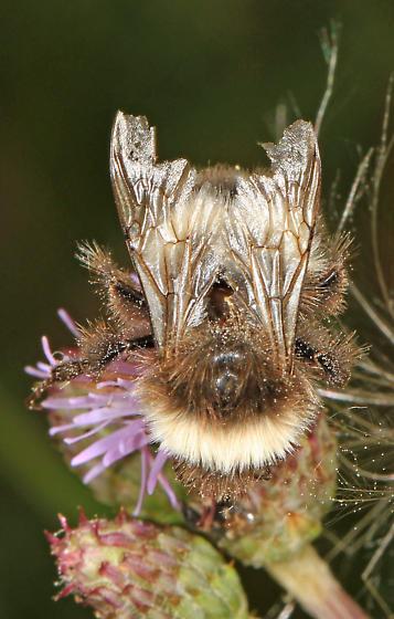 white and brown Bumble Bee - Bombus cryptarum