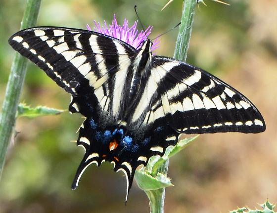 Is this a Pale Swallowtail ?? - Papilio
