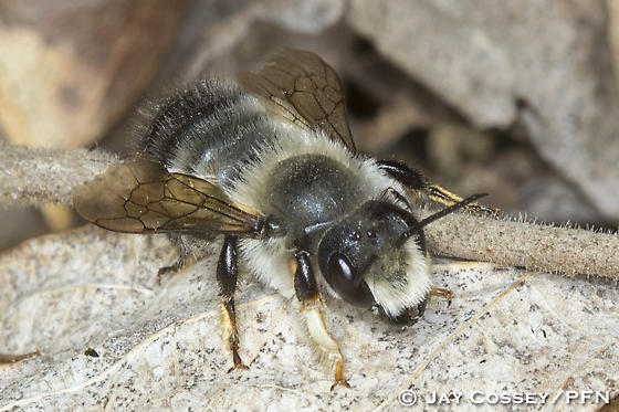 Unidentified Bee - Megachile