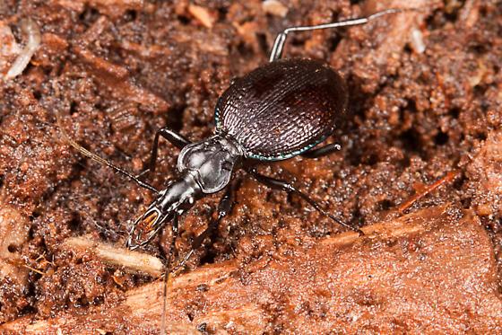 Scaphinotus spp. - Scaphinotus marginatus