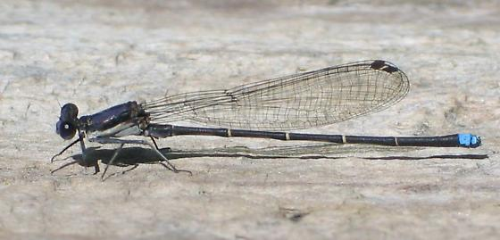 Blue-tipped Dancer - Argia tibialis - male