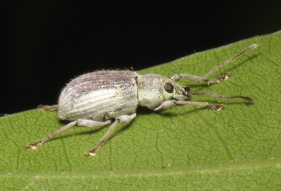 Curculionidae,  Asiatic Oak Weevil, lateral - Cyrtepistomus castaneus