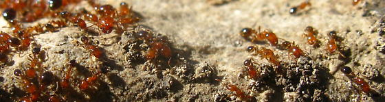 2-beady-humped (orange-)red Ants with blackish-and-beige-brown-striped abdomen and unarmed thorax - Solenopsis xyloni - female