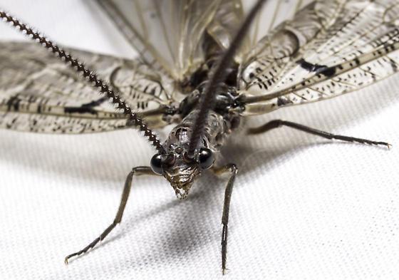 Fishfly attracted to our National Moth Week blacklight setup - Neohermes