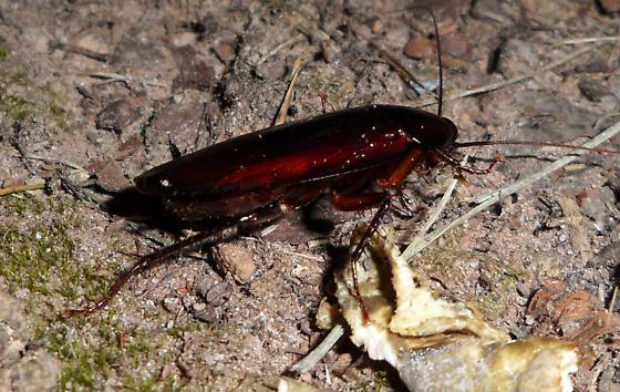 Smoky Brown Cockroach - Periplaneta fuliginosa