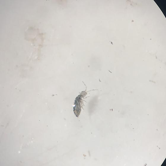 Possible Entomobryomorpha springtail
