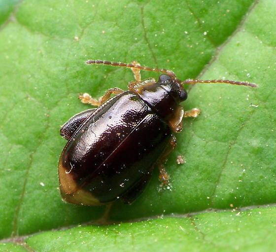 Capraita obsidiana Flea Beetle? - Capraita obsidiana