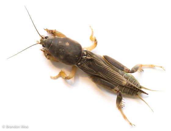 Neoscapteriscus borellii - male