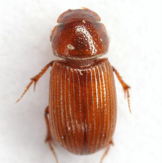 Ataenius desertus Horn - Ataenius desertus