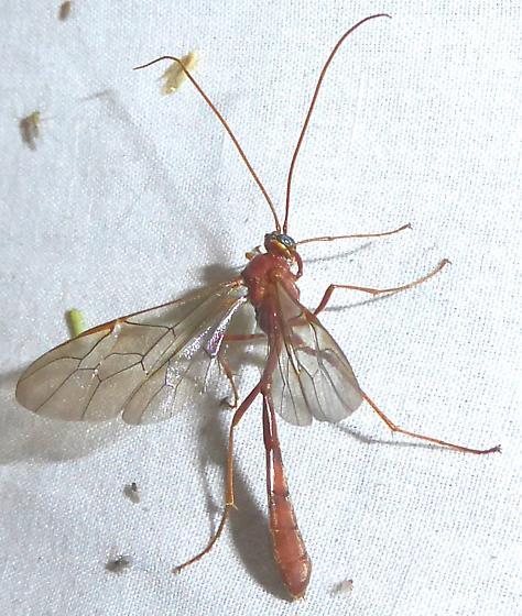 Enicospilus americanus-complex - Enicospilus
