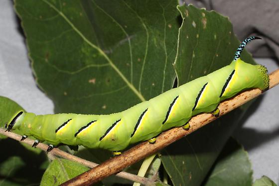 Sphingidae - Sphinx kalmiae - male