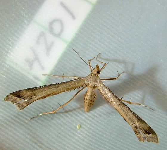 Platyptilia williamsii - Calendula Plume Moth 6112 - Platyptilia williamsii - female