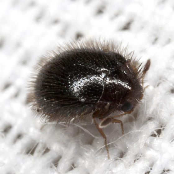 Carpet Beetle - Apsectus hispidus