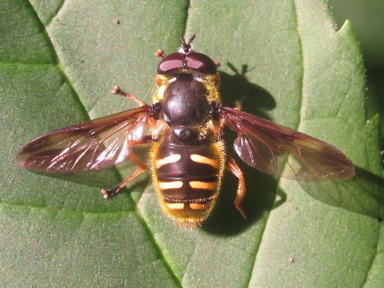 Syrphidae - Sericomyia chrysotoxoides - male