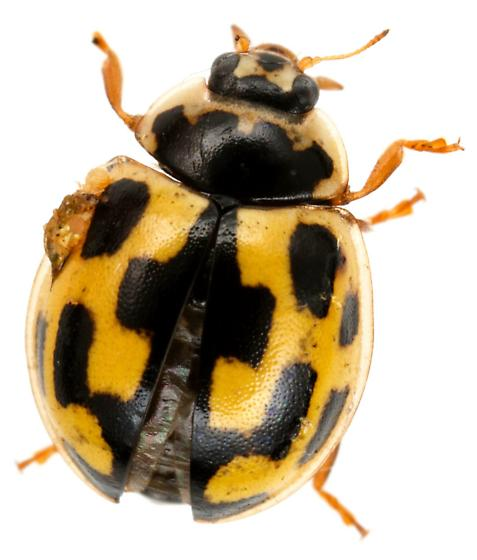 Fourteen-spotted Lady Beetle? - Propylea quatuordecimpunctata