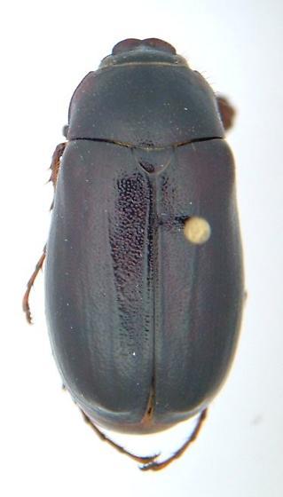 Phyllophaga anxia - male
