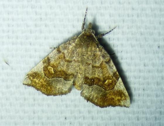 unknown moth - Pangrapta decoralis