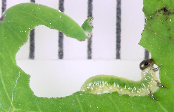 Columbine Sawfly, larva - Pristiphora rufipes