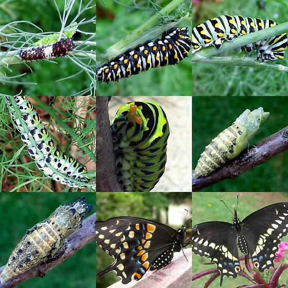 Black swallowtail, collage of metamorphosis, 3 stages - Papilio polyxenes - male