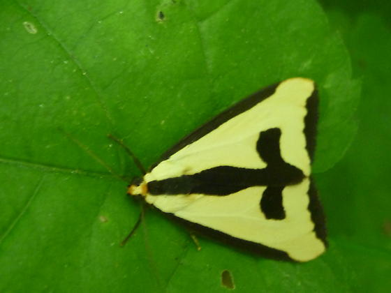 Unknown - Haploa clymene