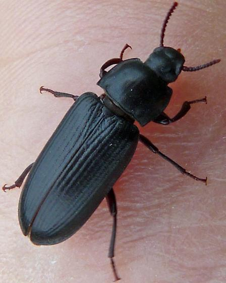 Xylopinus? - Tenebrio molitor