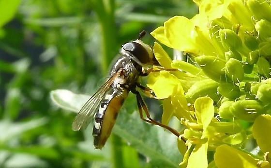Possibly a Bird Hoverfly (Epodes volucris)? - Eupeodes volucris