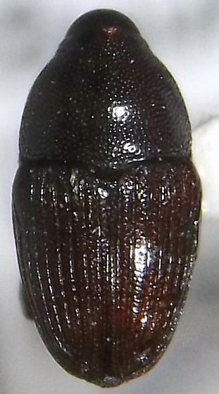 Aulobaris scolopax Say - Aulobaris scolopax