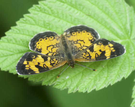A different crescent - Phyciodes cocyta - male
