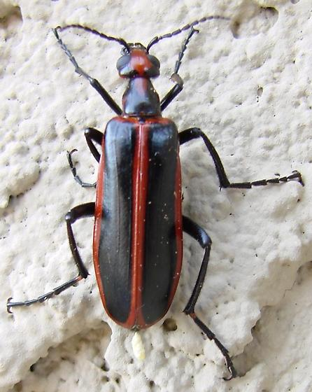 red striped black bug  - Pyrota akhurstiana