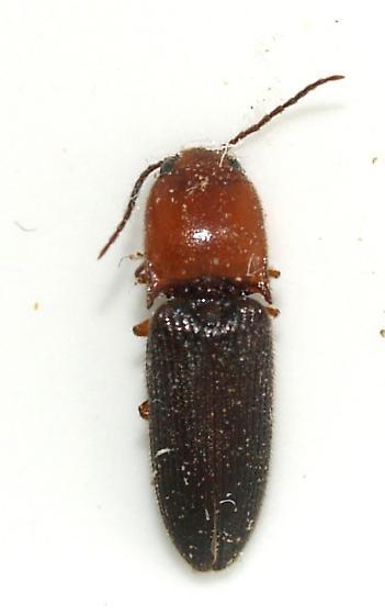 elateridae - Anchastus bicolor