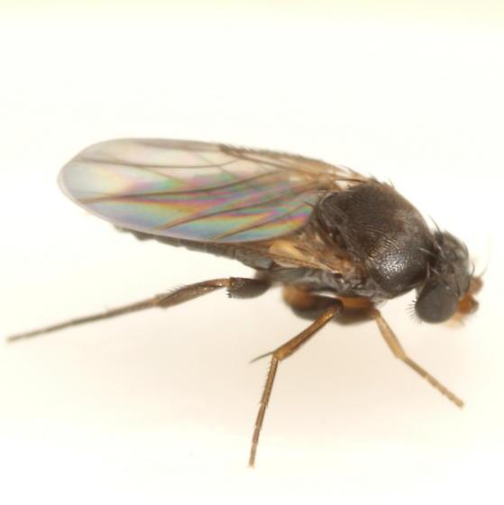 Phorid - midge parasitoid? - Megaselia nantucketensis - male