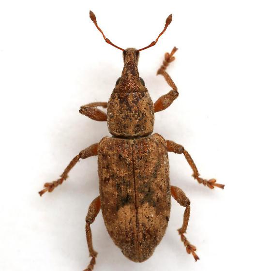 Listronotus appendiculatus (Boheman) - Listronotus appendiculatus