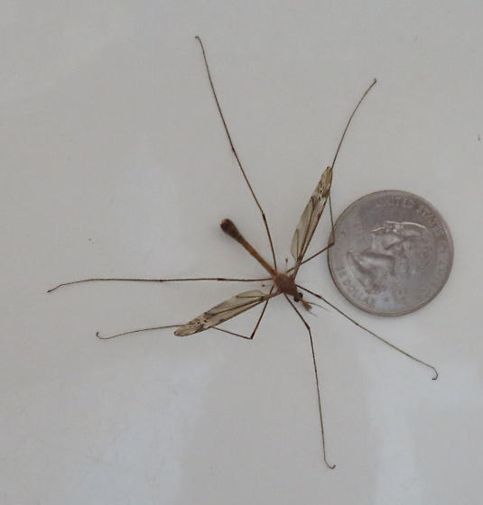 Tipula, maybe T. pubera - Tipula - male