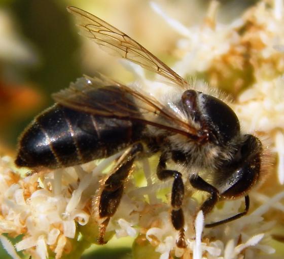 Black Bumble Bee >> Black Bee (Apis mellifera mellifera)? - Apis mellifera - BugGuide.Net