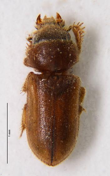 Very small Heterocerid? - Tropicus pusillus