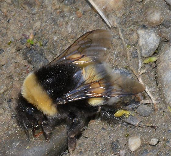 a very large bumblebee - Bombus cryptarum