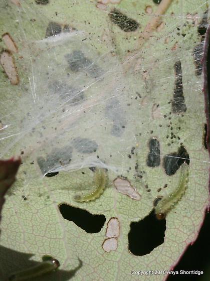 Caterpillar eating rose leaves