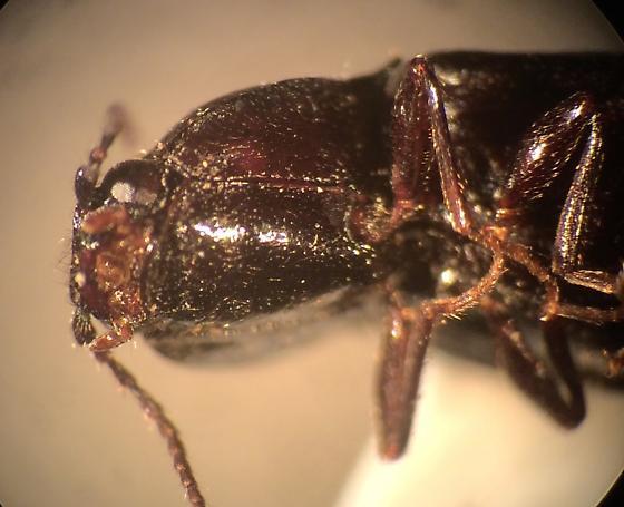 Elaeridae - Hypoganus rotundicollis
