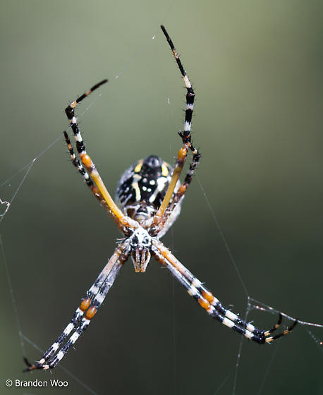Argiope florida - female